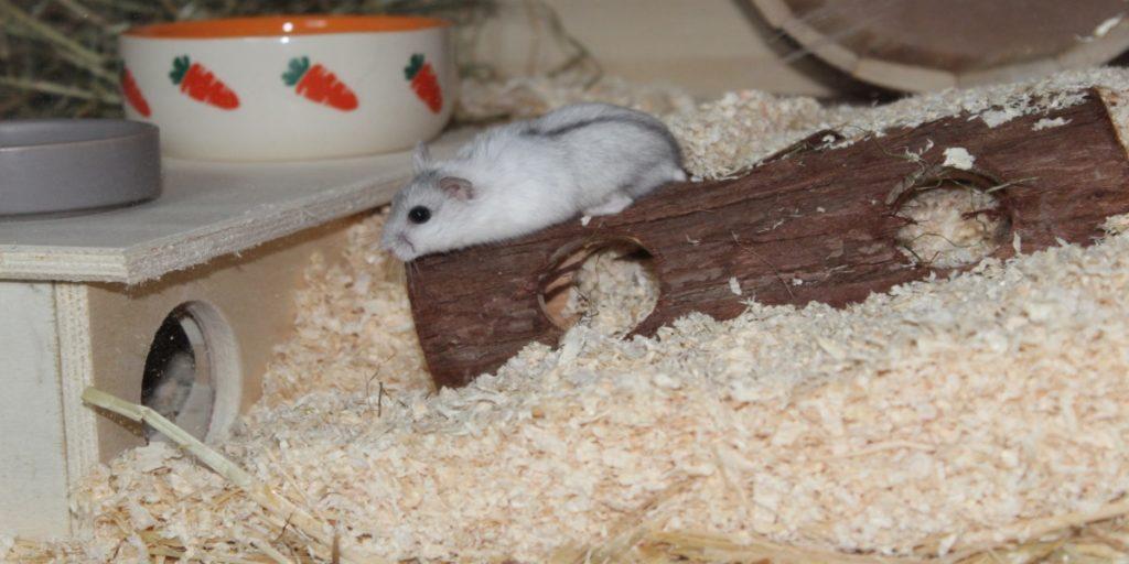 Hamster im Käfig mit mehreren Einstreu Schichten