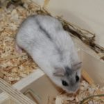 Hamster kletter aus Kammer