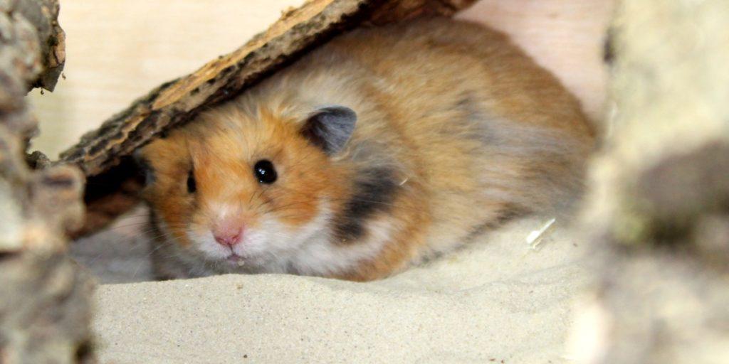Sand als Einstreu im Hamsterkäfig