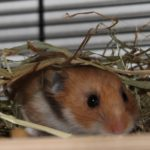 Hamster im Heu