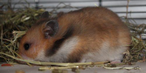 Teddyhamster im Profil