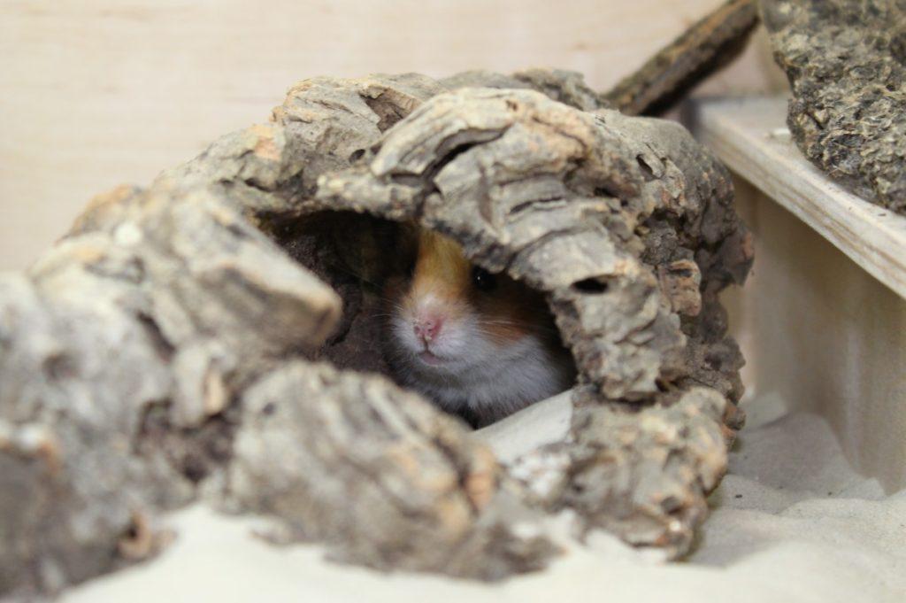 Teddyhamster im Versteck