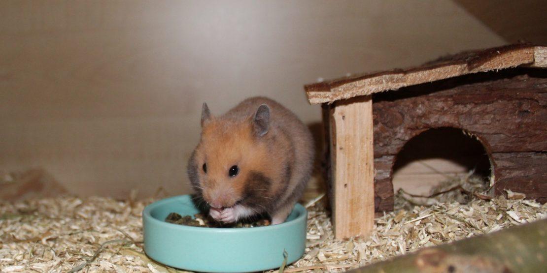 Die Anschaffung eines Hamsters planen