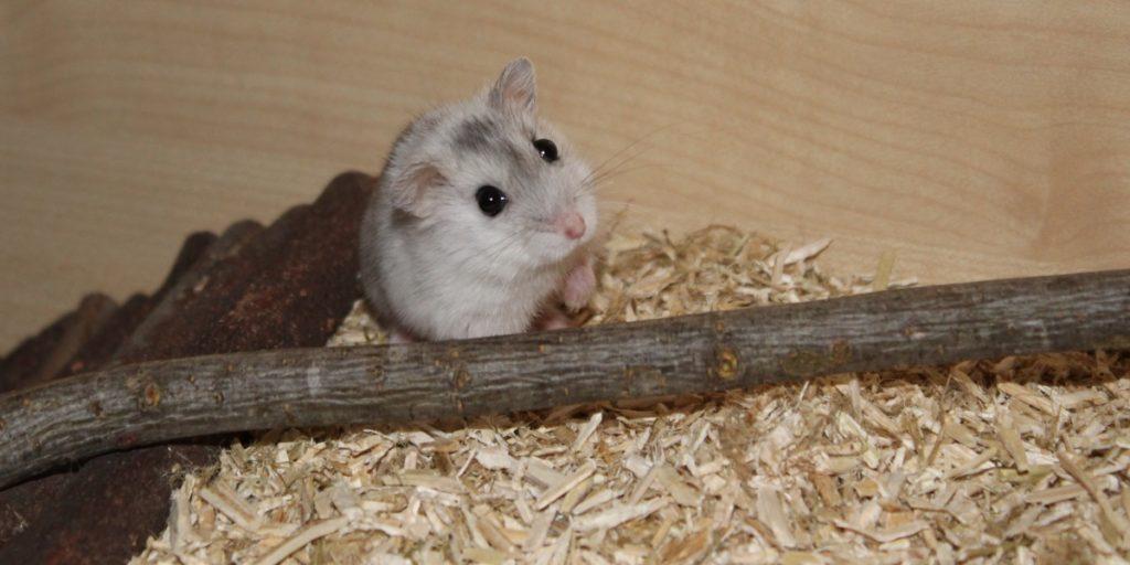 Haltung des Campbell Zwerghamsters im artgerechten Hamsterkäfig