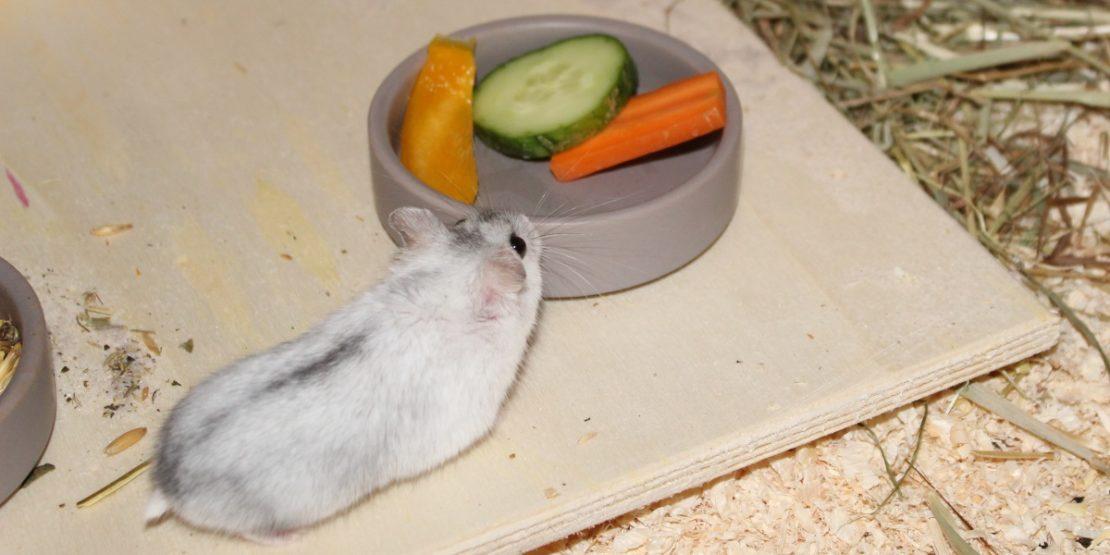 Campbell Zwerghamster Ernährung und Futtertipps