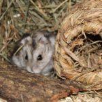 Hamster versteckt sich