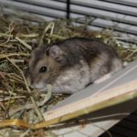 Hamster auf Rampe