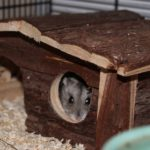 Zwerghamster schaut aus Hamsterhaus