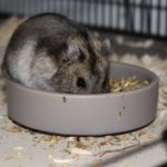 Hamster frisst Trockenfutter
