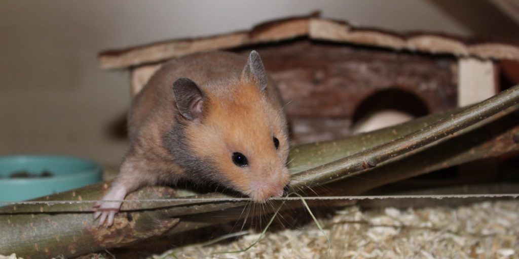 Hamster klettert - Goldhamster vor dem Kauf beobachten