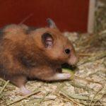 Hamster frisst Zuccini