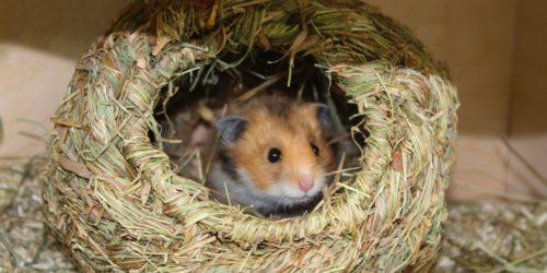 Hamster im Grasnest