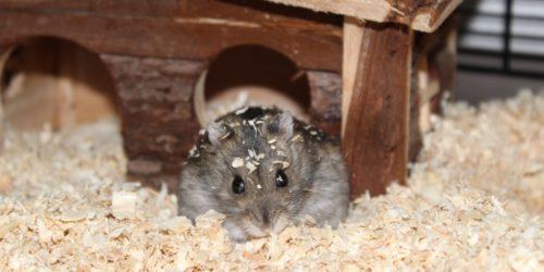 Dsungarischer Zwerghamster vom Hamsterhaus