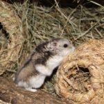 Hamster auf Heunest