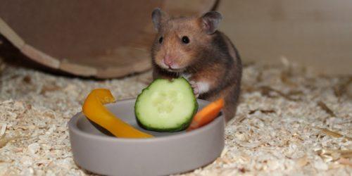 Einen Hamster Kaufen - Das sollte man beachten