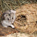 Hamster kuschelt mit Nest