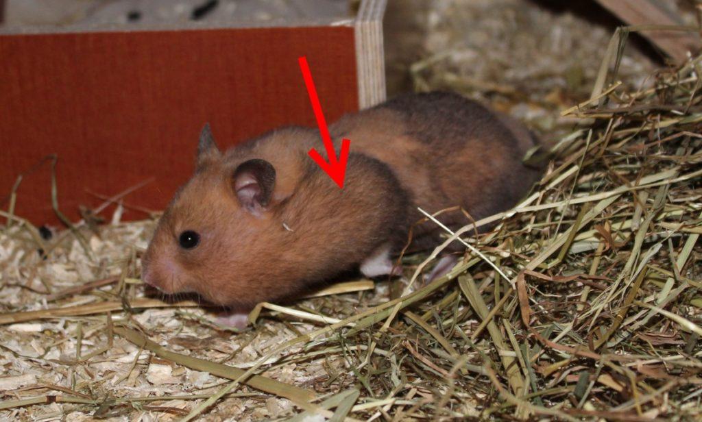Hamster mit vollen Backentaschen