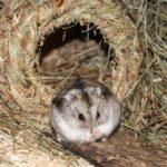 Hamster vor Grasnest