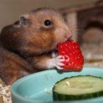 Hamsterfutter und gesunde Ernährung