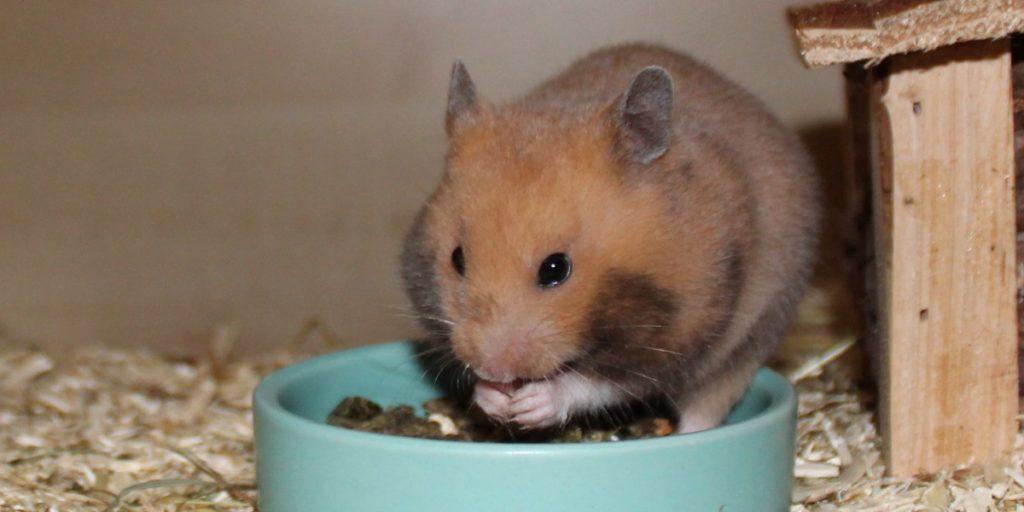 Trockenfutter als Hamsterfutter Basis
