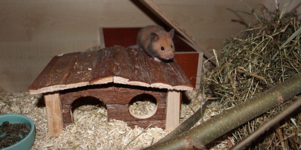 Goldhamster klettert auf Häuschen