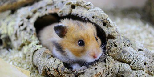 Hamster in Korkröhre