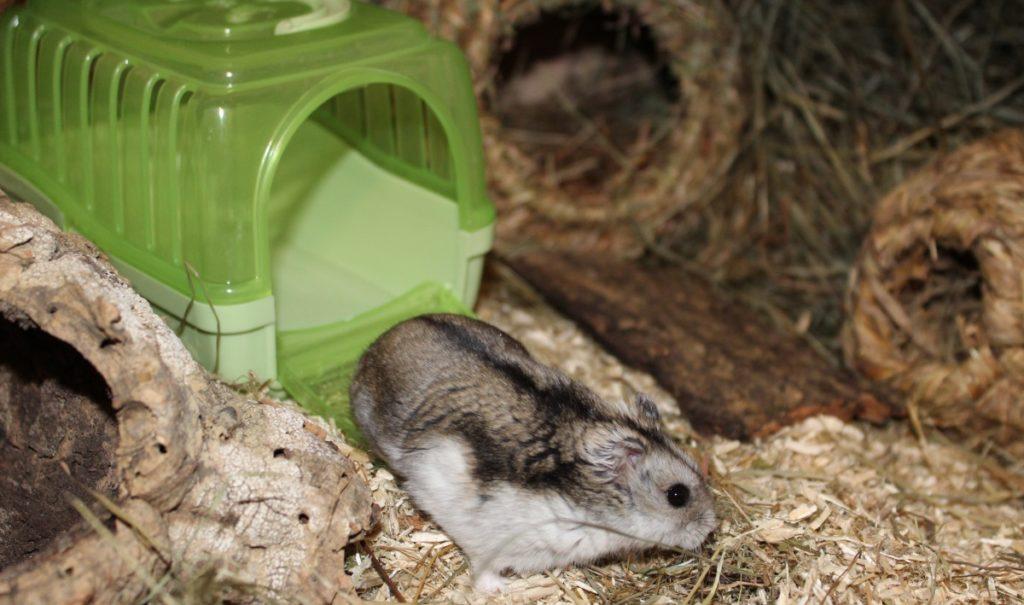 Hamster kommt aus Transportbox