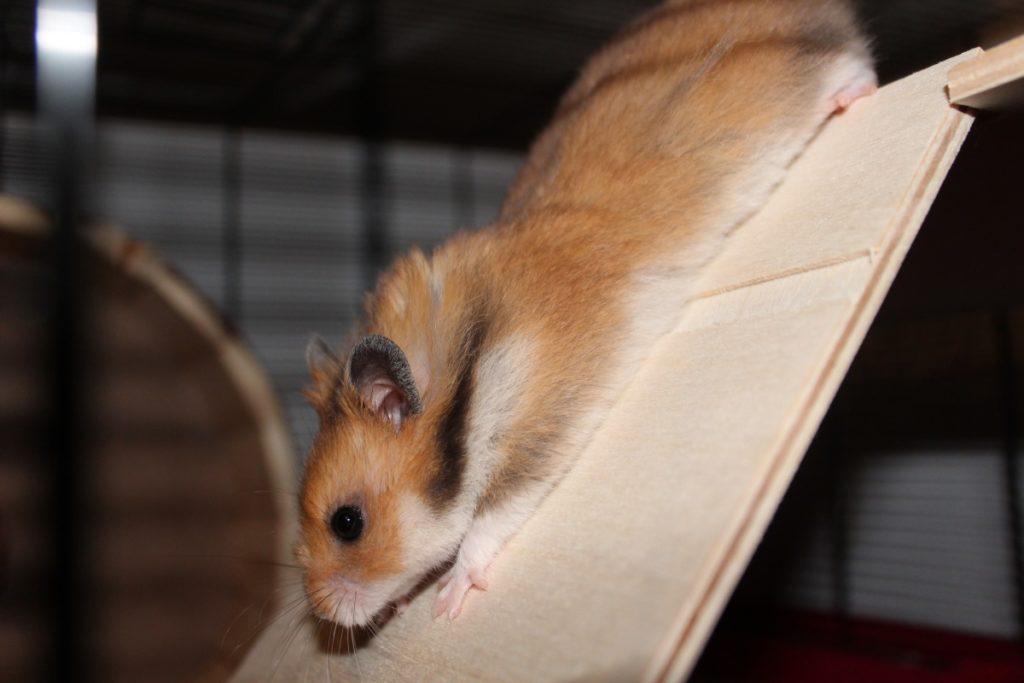 Vitaler Hamster beim Klettern