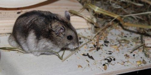 Hamster Durchfall - Ursachen und Behandlung