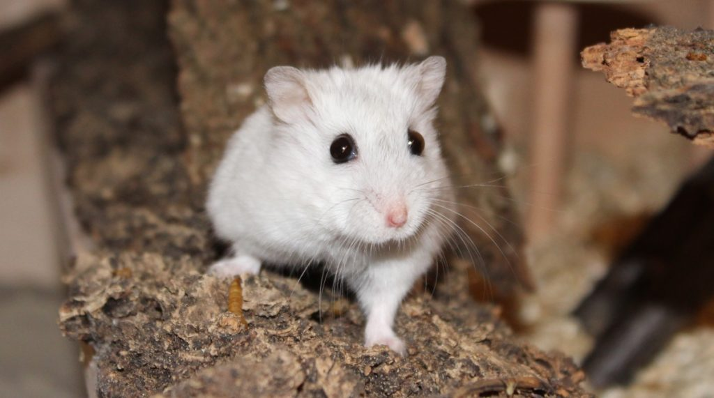 Rundum gesunder Hamster