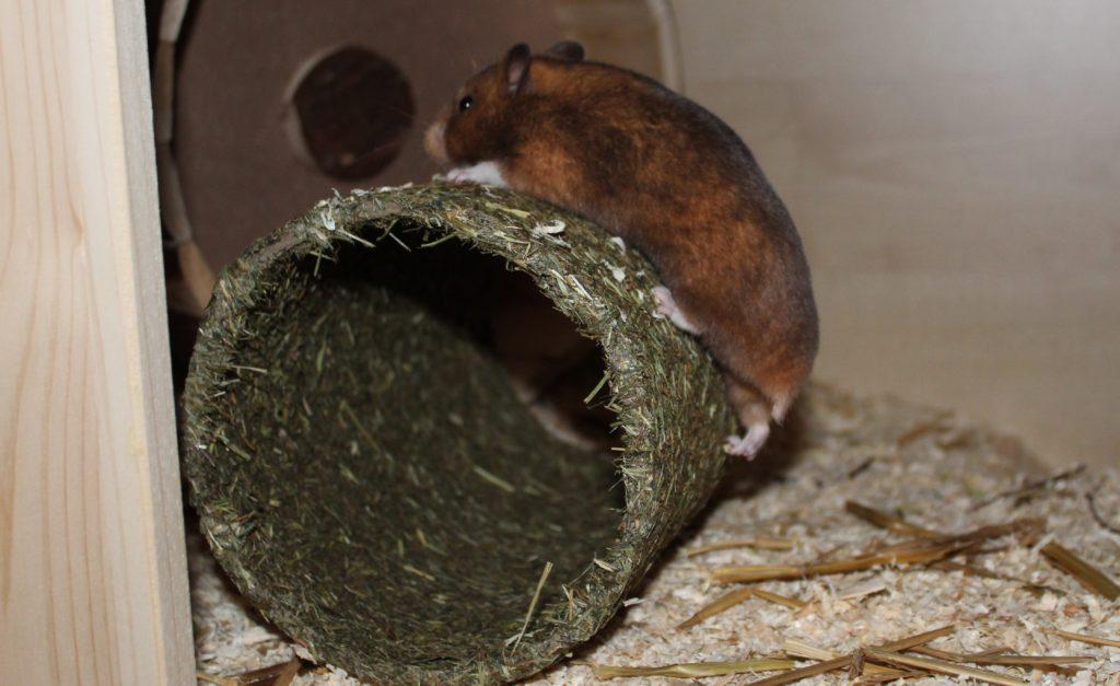Hamster klettert auf den Heutunnel