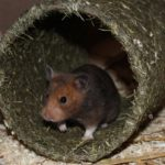 Hamster im Tunnel aus Heu