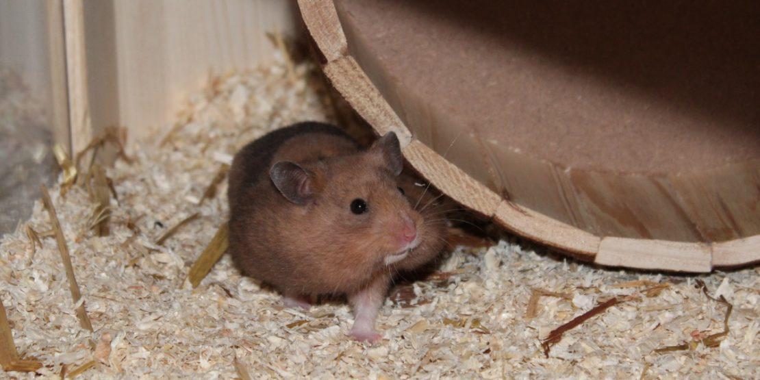 Verhalten des Hamsters