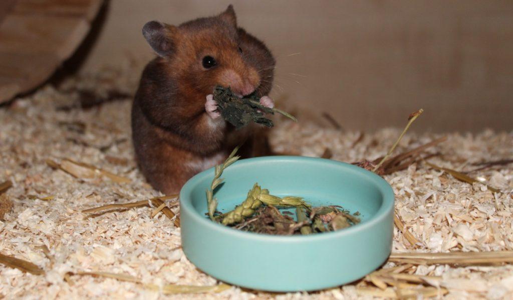 Hamsterfutter für den Goldhamster kaufen