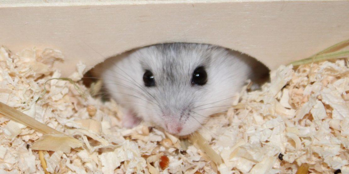 Nachwuchs beim Hamster