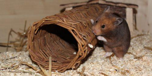 Weidentunnel mit Hamster