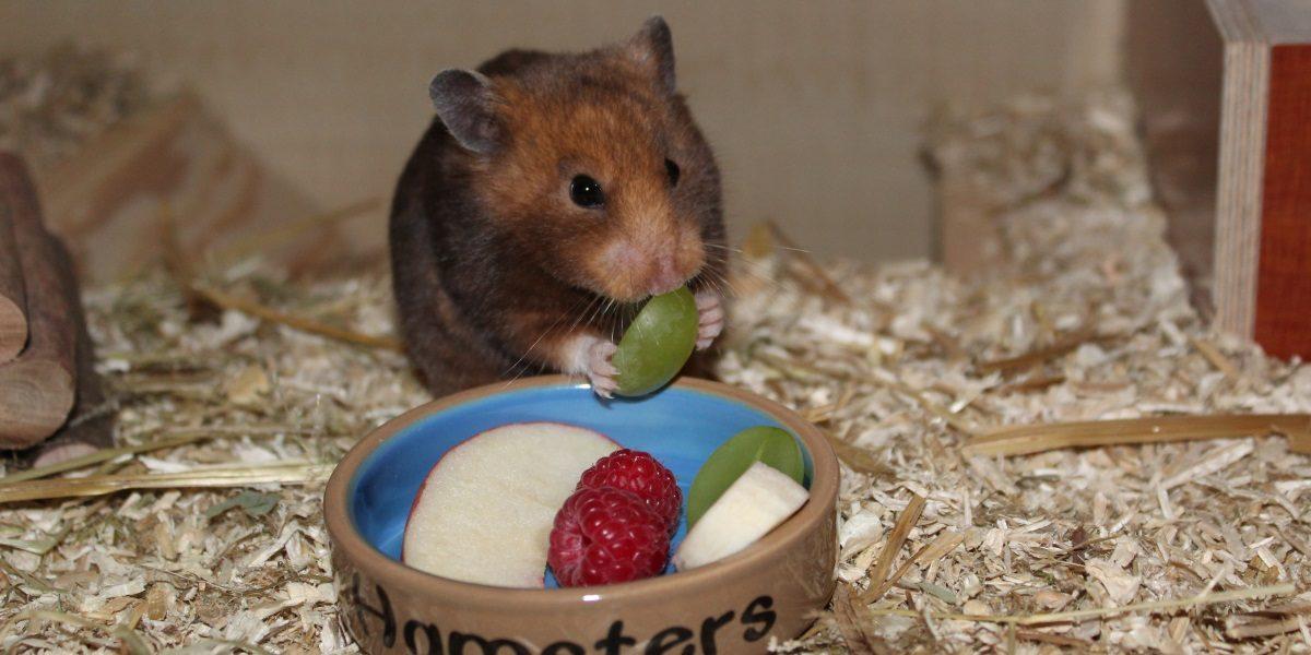 Wenig Obst in der Ernährung des Hamsters