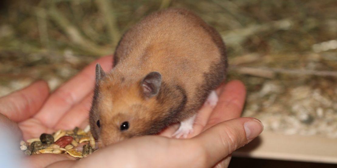 Die Zähmung des Hamsters