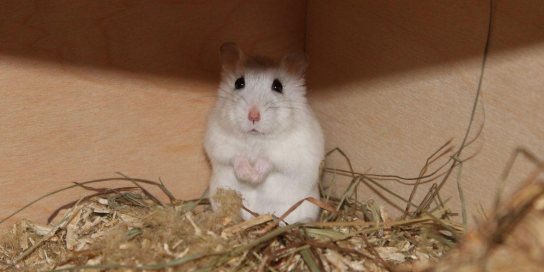 Kranken Hamster päppeln