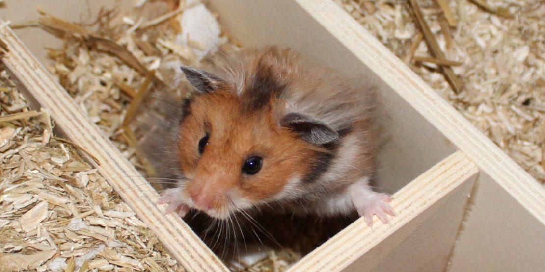 Struppiges Fell beim Hamster