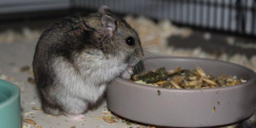 Übergewicht beim Hamster