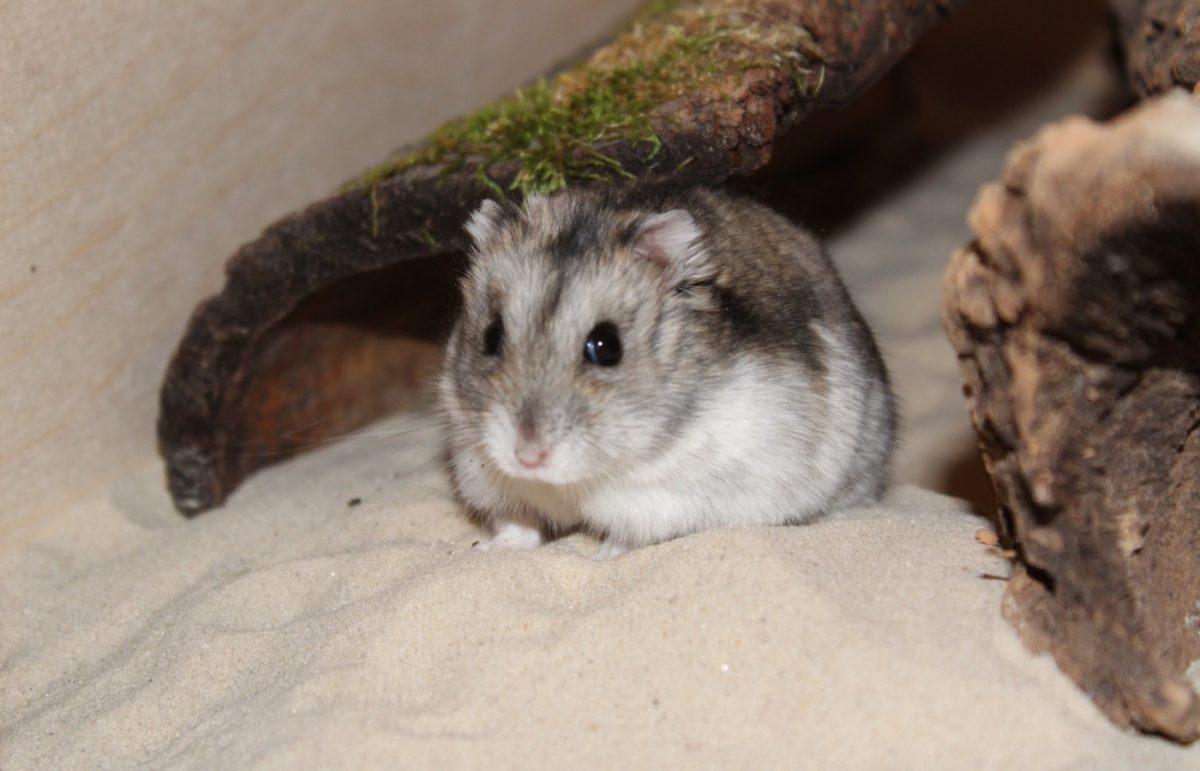 Das Sandbad gehört zur artgerechten Hamsterhaltung