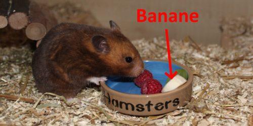 Darf der Hamster Bananen fressen?
