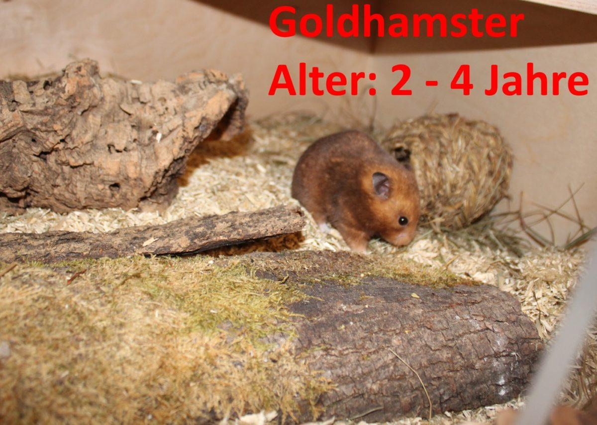 Wie alt werden Goldhamster?
