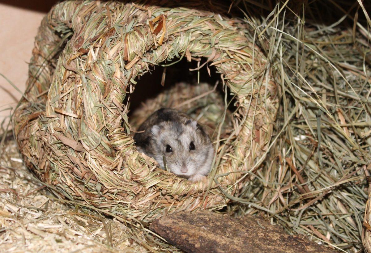 Der glückliche Hamster mit hohem Alter