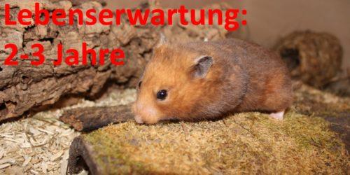 Wie alt werden Hamster? - Die Lebenserwartung