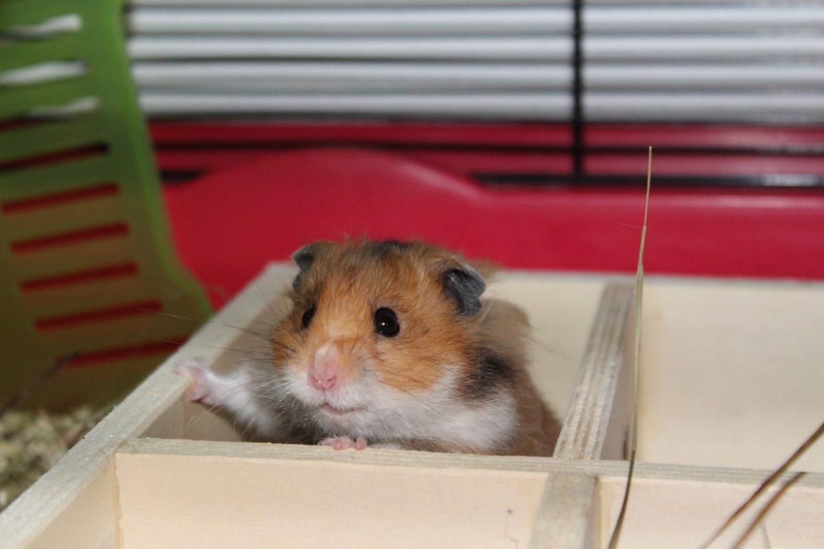 Hamster hat Angst