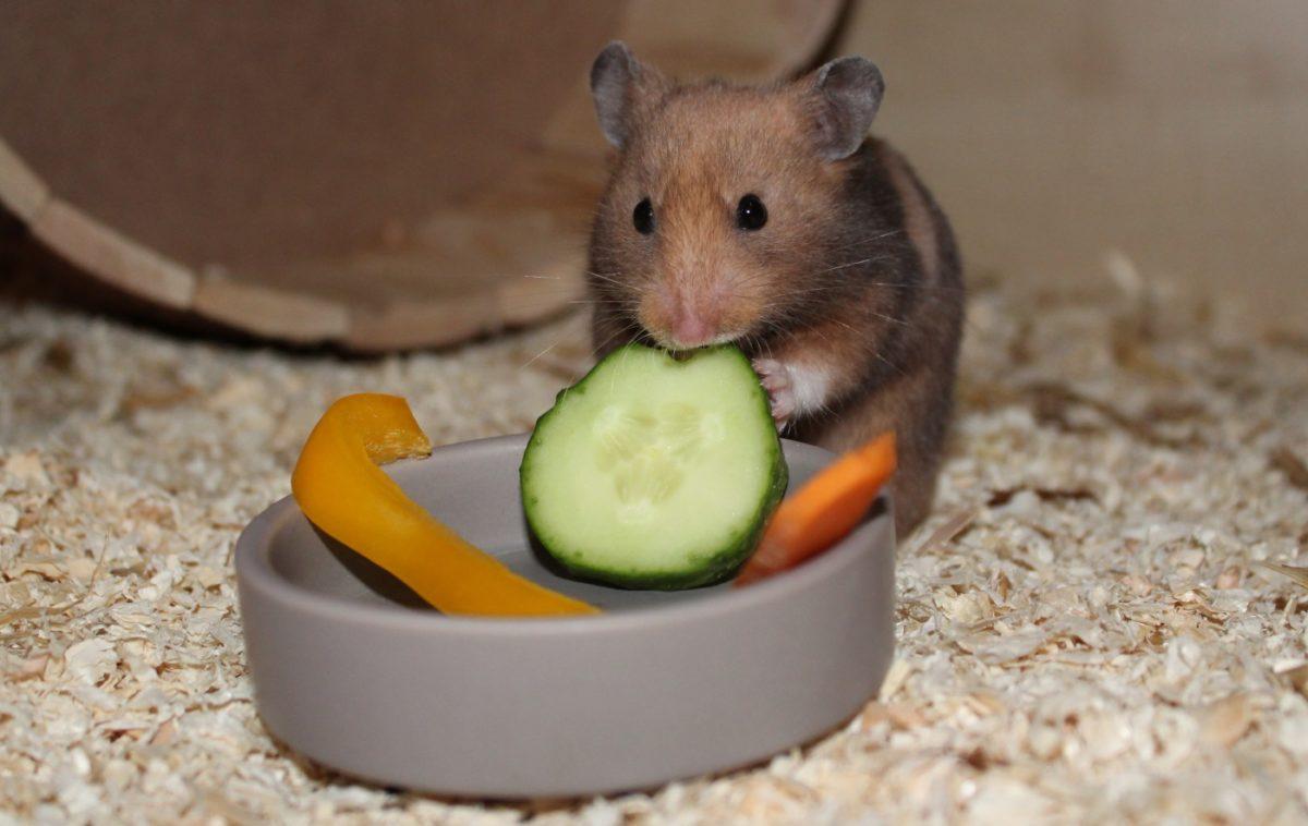 Ernährung des Hamsters und Hamsterfutter