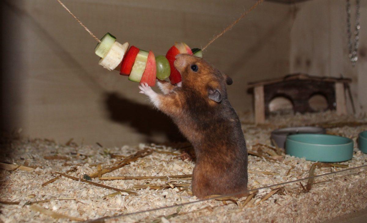 Hamster Beschäftigung mit Futter