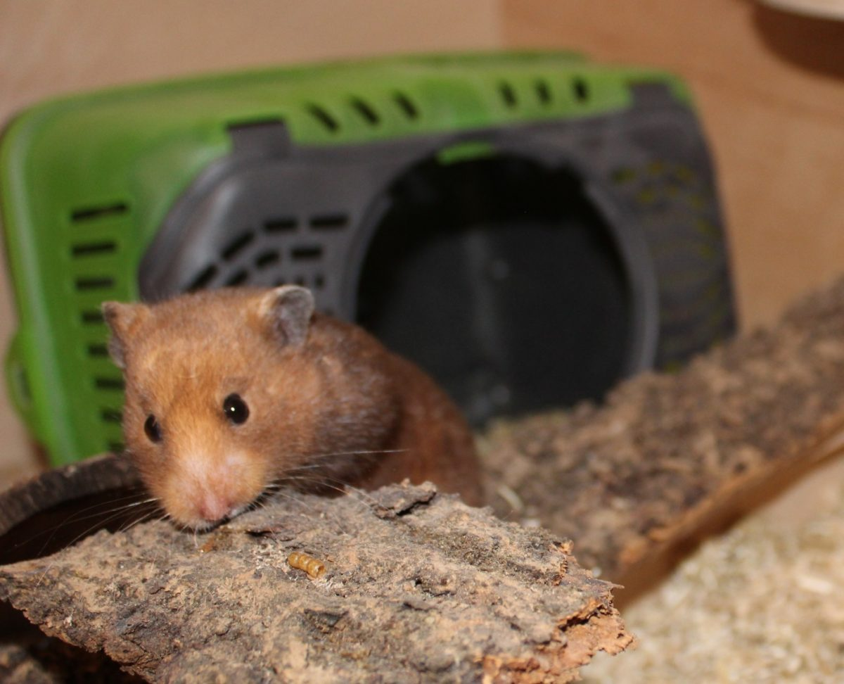 Den Hamster kaufen - Die Anschaffung